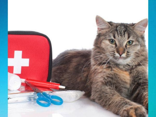 Cat First Aid and CPR