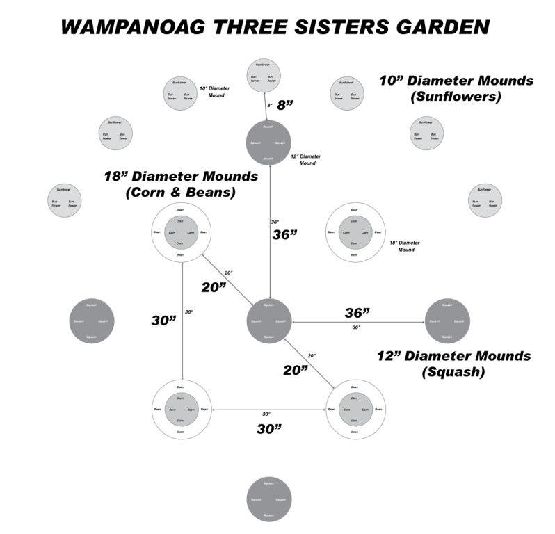 Grow Your Own Wampanoag Three Sisters Garden Sudbury Ma Patch