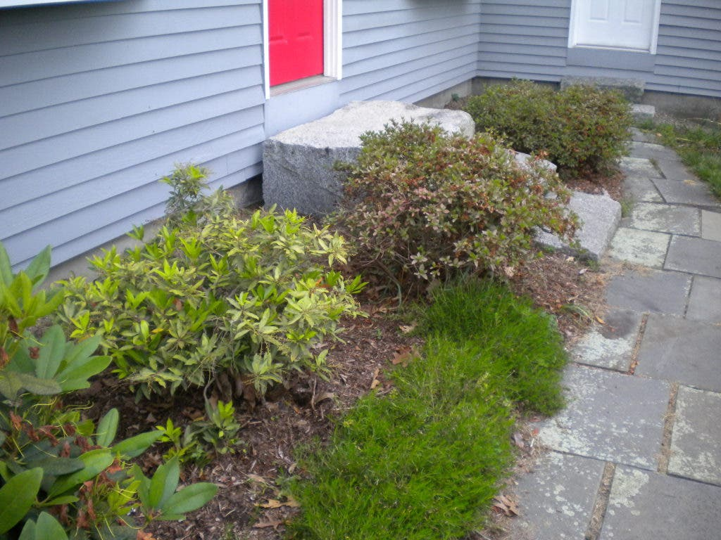 Foundation Plants Hide And Beautify Sudbury Ma Patch