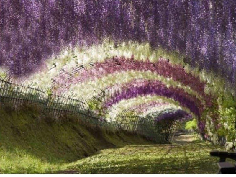 Ordinaire Fuji Matsuri Or The Wisteria Festival