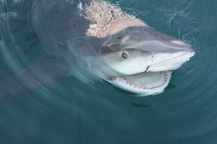 Shark Attacks: What Are The Odds? | Clearwater, FL Patch