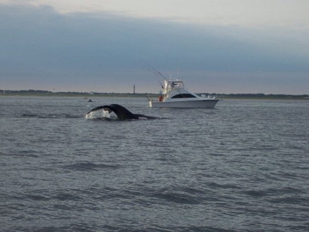 How to Catch Cape Cod Tuna within Sight of Shore