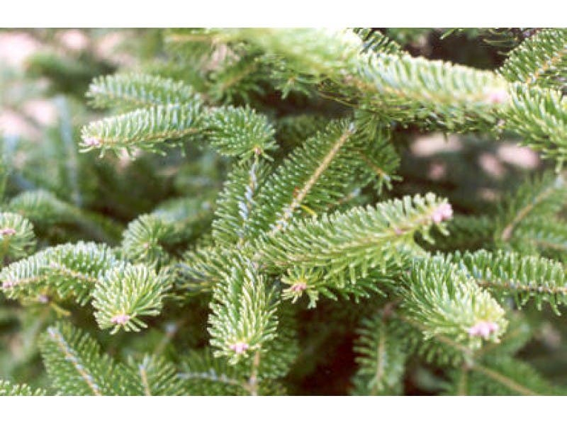 st vincent ferrer holy name societys annual christmas tree sale