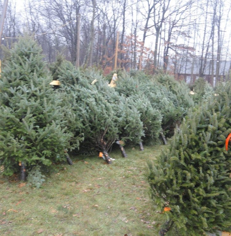 Disposing Of Christmas Trees: Dispose Of Christmas Trees Properly
