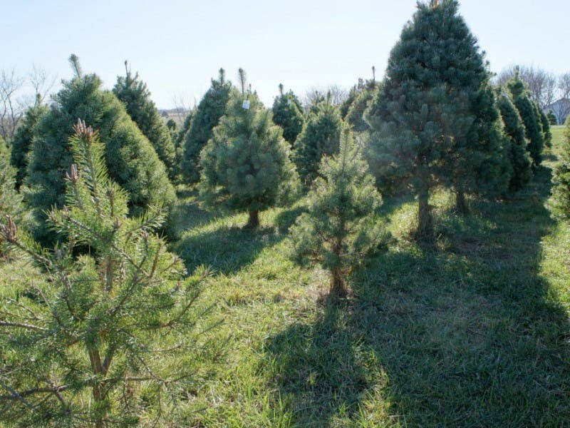 How to Pick a Christmas Tree; Where to Cut Yours Near Manchester - How To Pick A Christmas Tree; Where To Cut Yours Near Manchester