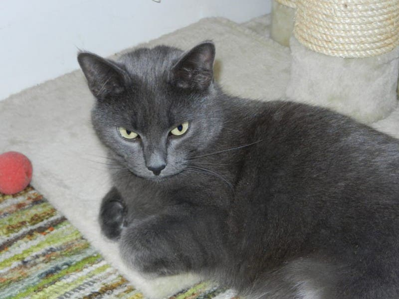 Stunning Myra The Russian Blue Mix 0