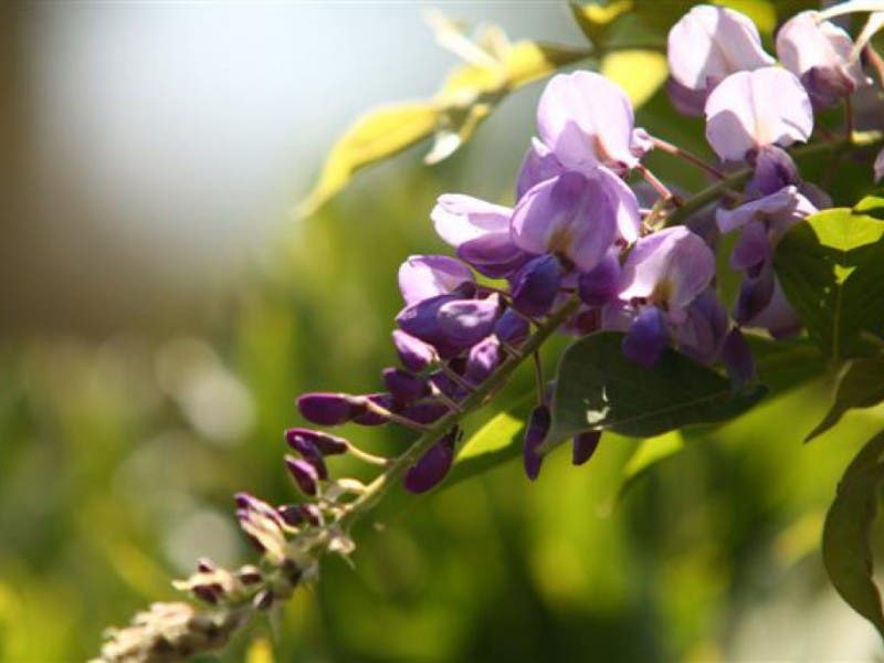 When To Prune Lilacs And Other Spring Flowering Plants Des Plaines