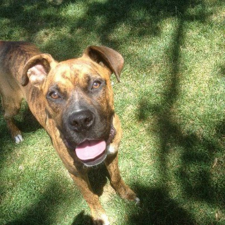 Tank: Boxer/Great Dane Mix is Available for Adoption | Lakewood, OH