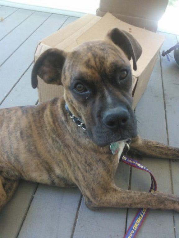 Tank Boxer Great Dane Mix Is Available