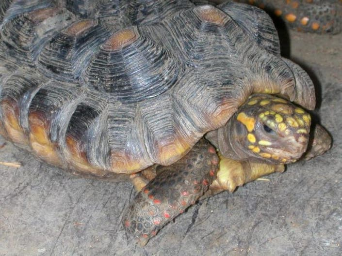 LETTER: Pancake, The Little Tortoise That Could | Malibu, CA