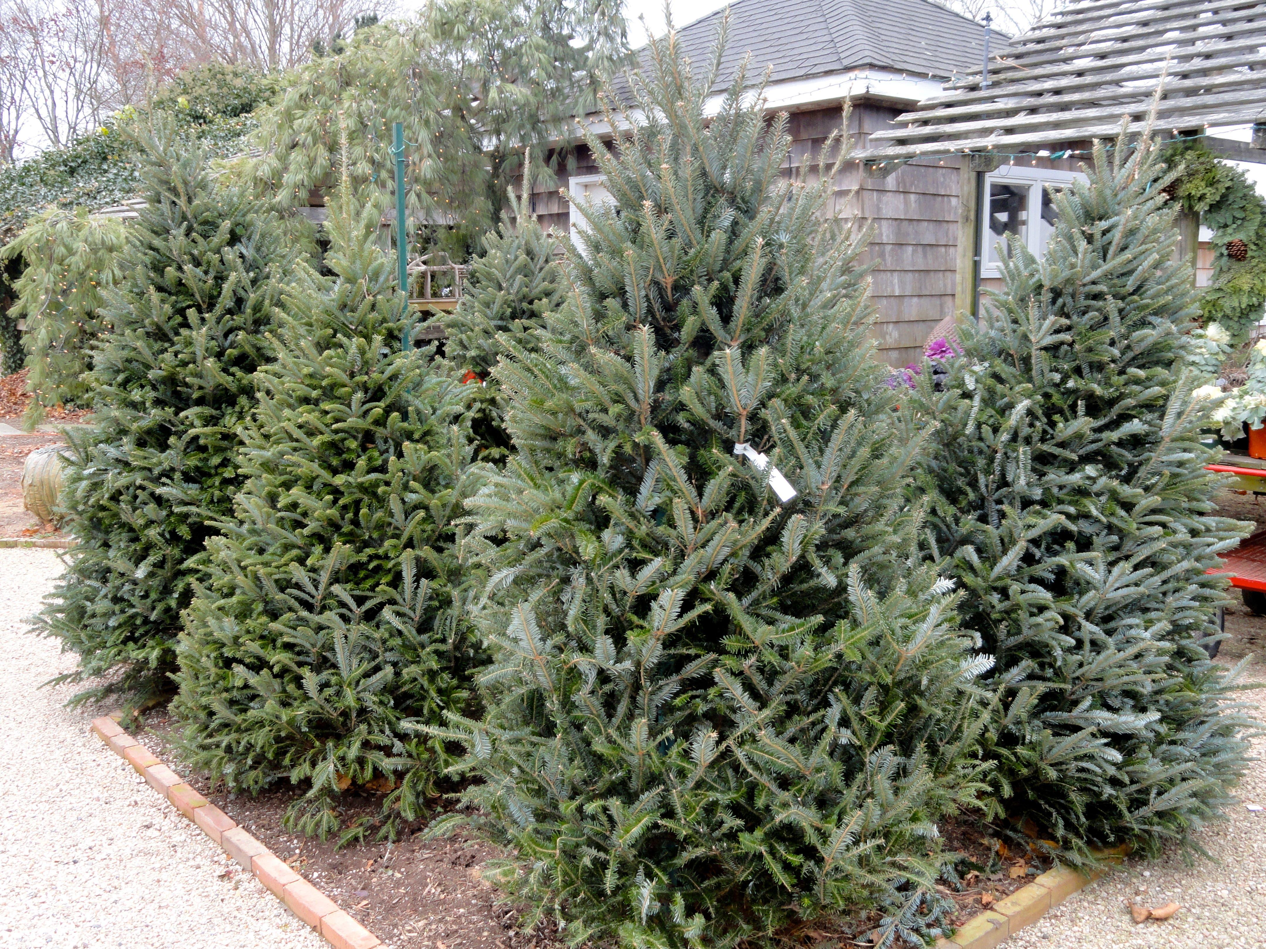Fresh Christmas Trees Near Me.15 Places To Buy A Christmas Tree East Hampton Ny Patch