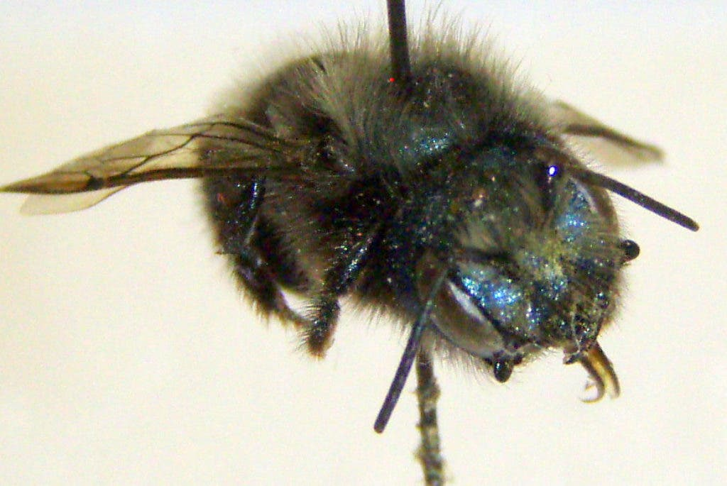 Mason Bees: Fun and Friendly | South Whitehall, PA Patch