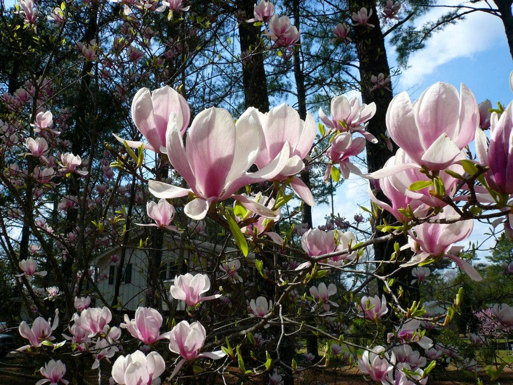 A True Steel Magnolia Remembering Elaine Sullivan Collingswood