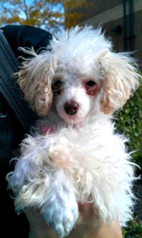Adoptable Pets Labrador Retriever Newfoundland Mix Needs A