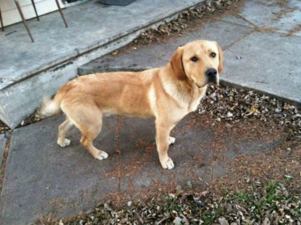 Adoptable Pets: Yellow Lab, Jack Russel Terrier, Mix Puppy Needs a