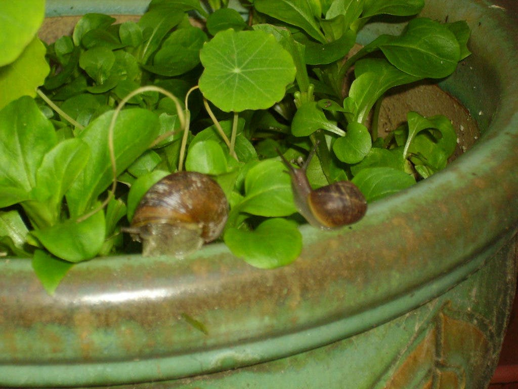 Getting Rid Of Slugs And Snails The Natural Way Gilroy Ca Patch
