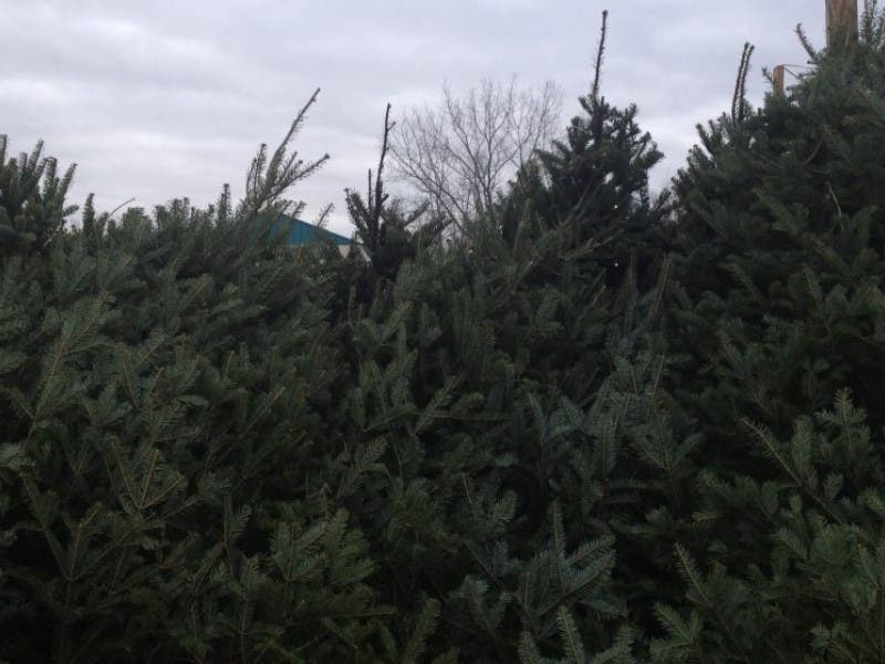 tomorrows trees offering free christmas trees for needy montville families