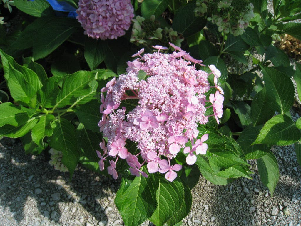 Heavenly Hydrangeas | Town And Country, MO Patch