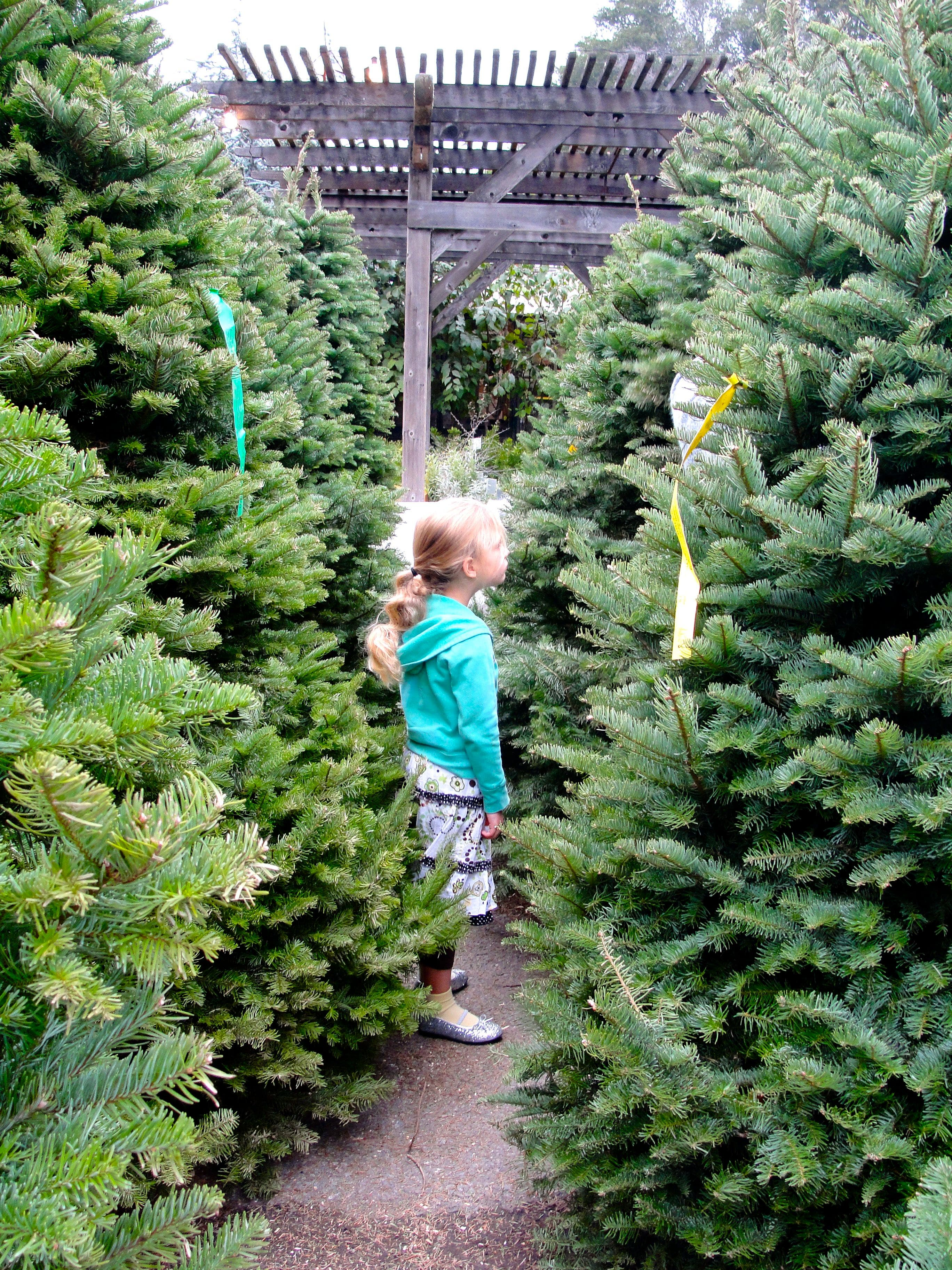 Christmas Tree Lots.Where Are The Best Christmas Tree Lots San Anselmo Ca Patch