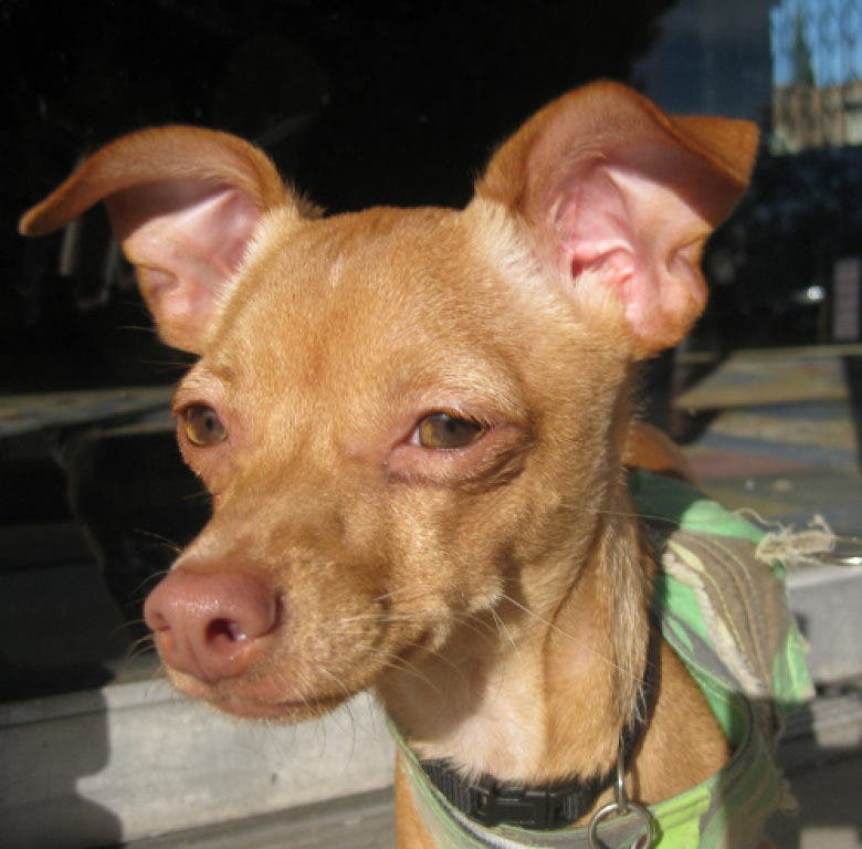 Pet Of The Week Pepe The Chihuahua Hollywood Ca Patch