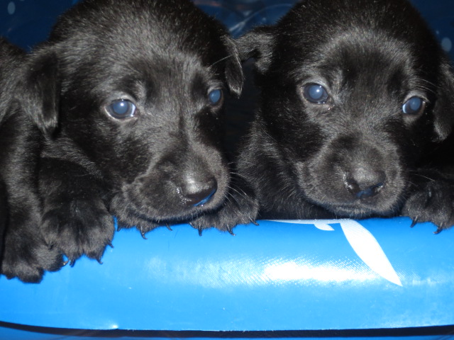 Lab Puppies for Sale   Darien, IL Patch