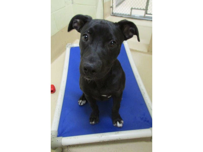 FOUND BLACK LAB/PIT BULL MIX PUPPY! | Castro Valley, CA Patch