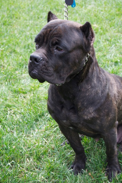 Cane Corso Puppies For Sale Ready Now Oakton Va Patch