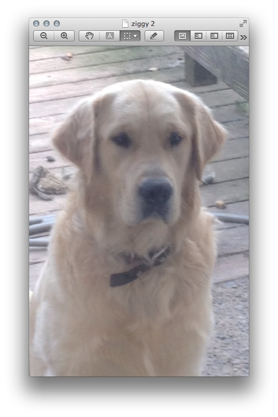 Beautiful Akc Golden Retriever Puppies For Sale Burlingame Ca Patch