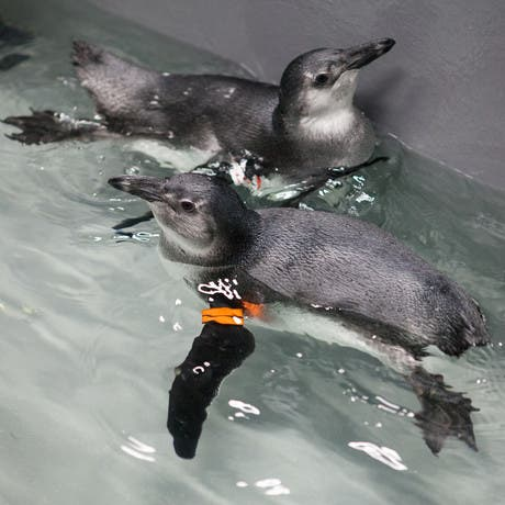 Awww Help Name Adorable Baby Penguins At Academy Of