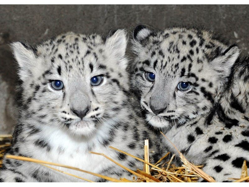 Snow White And Sweeter Than A Fairy Tale Leopard Cubs Born At Brookfield Zoo
