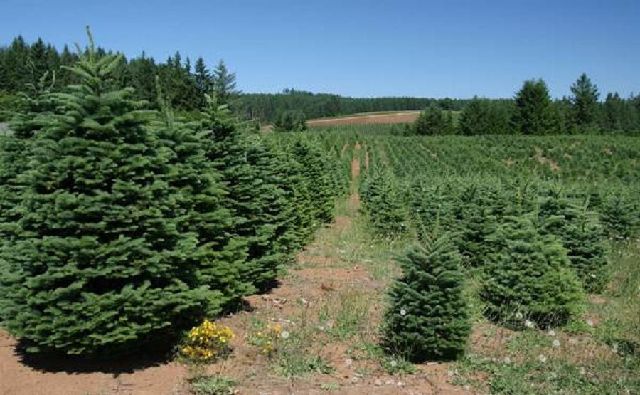 Cut Your Own Christmas Tree.Cut Your Own Christmas Tree This Year Manchester Nj Patch