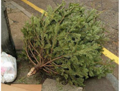Christmas Trees Peabody Ma 2020 When is Curbside Christmas Tree Collection in Peabody?   Peabody