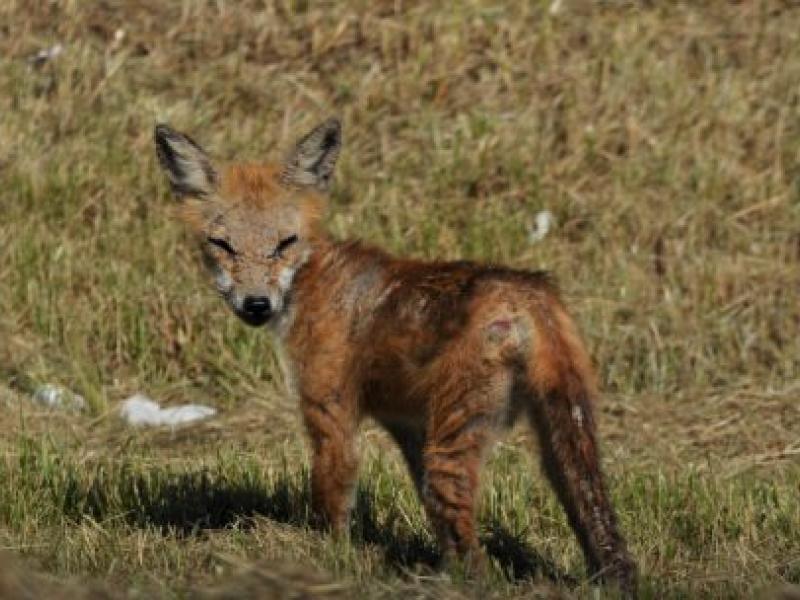 Fox Bites Dogs in The Bayshore | Matawan, NJ Patch