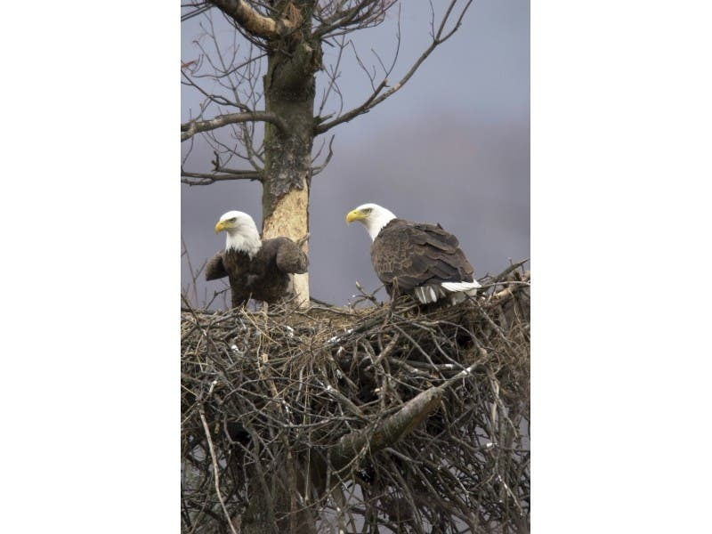 Franklin Pa The Pennsylvania Mission Has Charged An Erie County Man With Killing A Bald Eagle