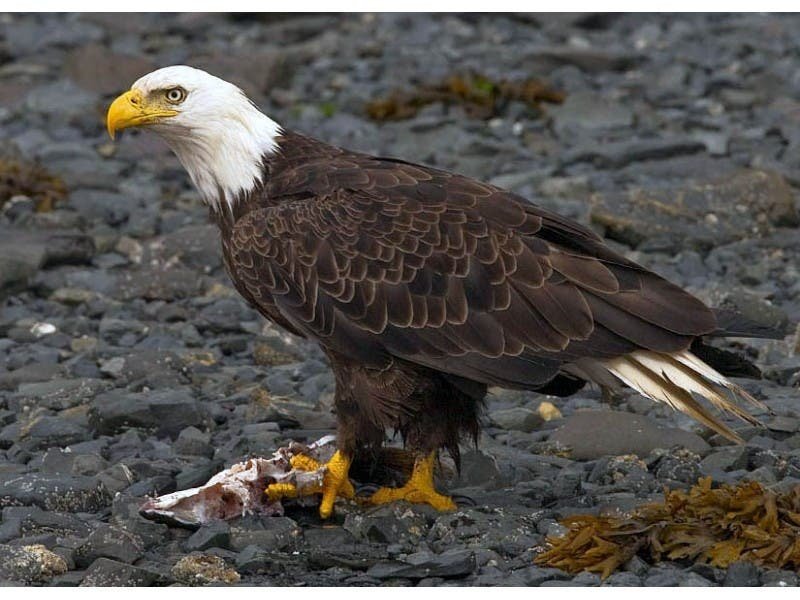 Bald Eagles Reportedly Spotted In Chester County Phoenixville Pa
