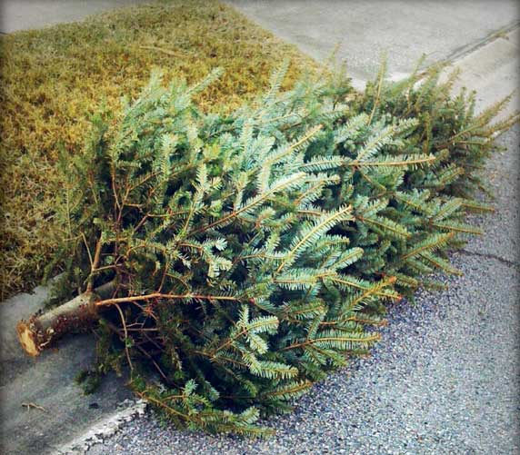 Christmas Tree Pick Up.Boy Scouts Picking Up And Recycling Christmas Trees