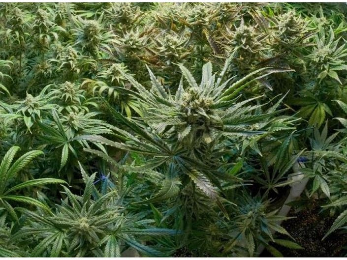 Accused Operators of Massive Pot Farm Near Lake Elsinore