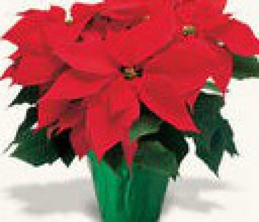 Poinsettia Care And Myths Fairfield Ct Patch