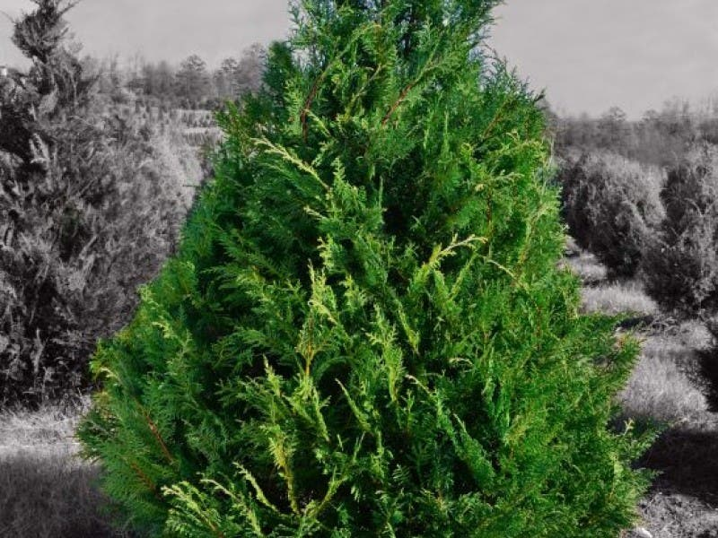Christmas Tree Tips from the Georgia Forestry Commission - Christmas Tree Tips From The Georgia Forestry Commission Peachtree