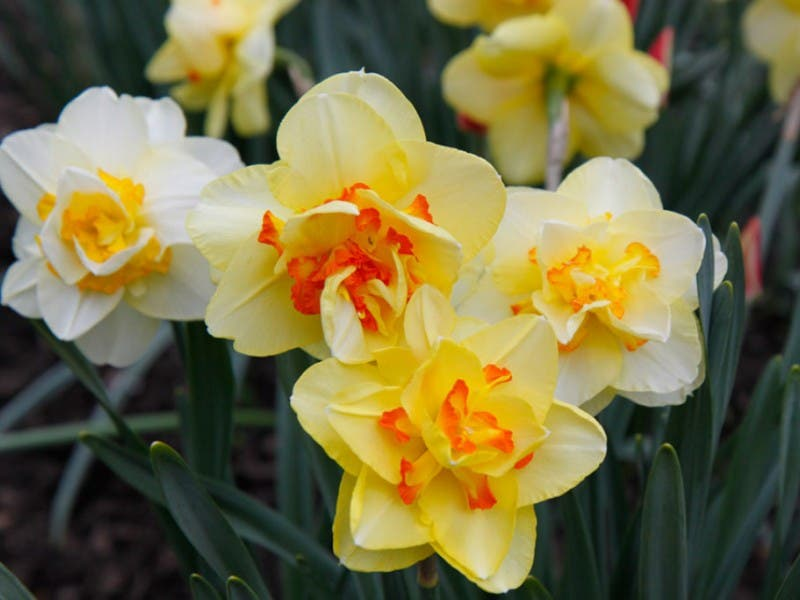 Plant bulbs now for spring flowers northampton pa patch plant bulbs now for spring flowers 0 mightylinksfo