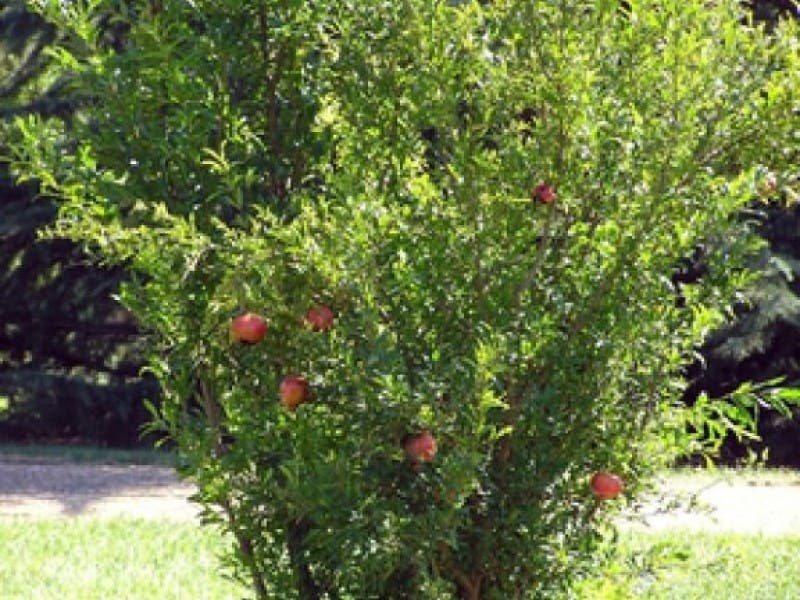 Pomegranate Tree Attractive Edible Landscape St Pete Fl Patch