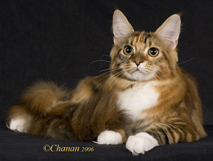 Meet The Breeds - America's Own Maine Coon Cat | Emmaus, PA