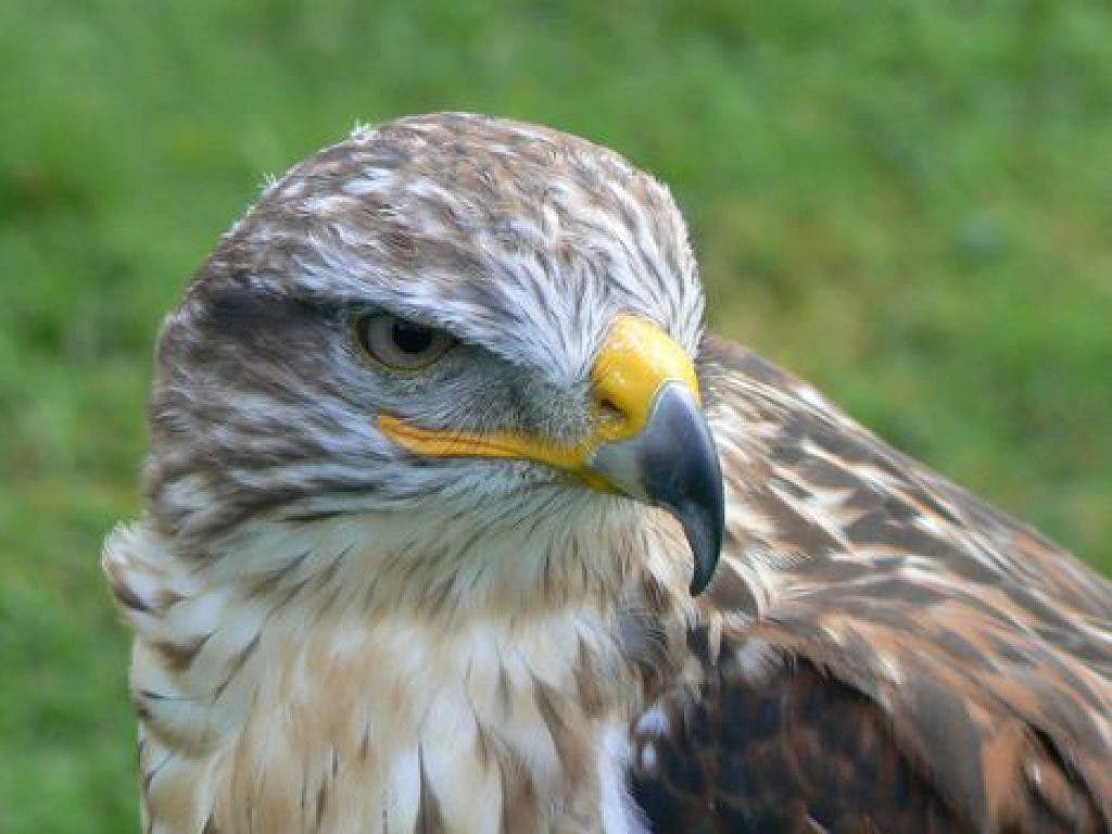Wingmasters Presents North American Birds Of Prey Live Bird Show For Kids And Teens Burlington Ma Patch
