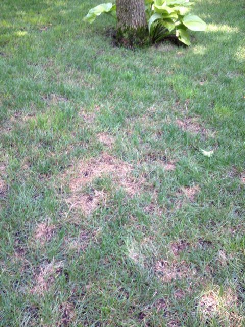 How To Treat Lawn Fungus During The Humid Months Huntington Ny Patch