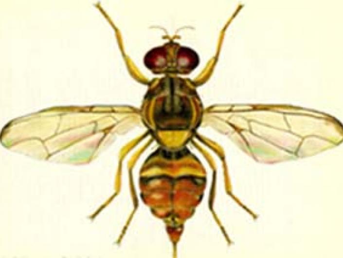 Emergency Proclamation: Asian Fly Infestation Found in Santa