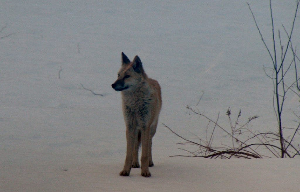 Wild Animal Safety Part Two Coyotes And Small Predators Mansfield Ma Patch