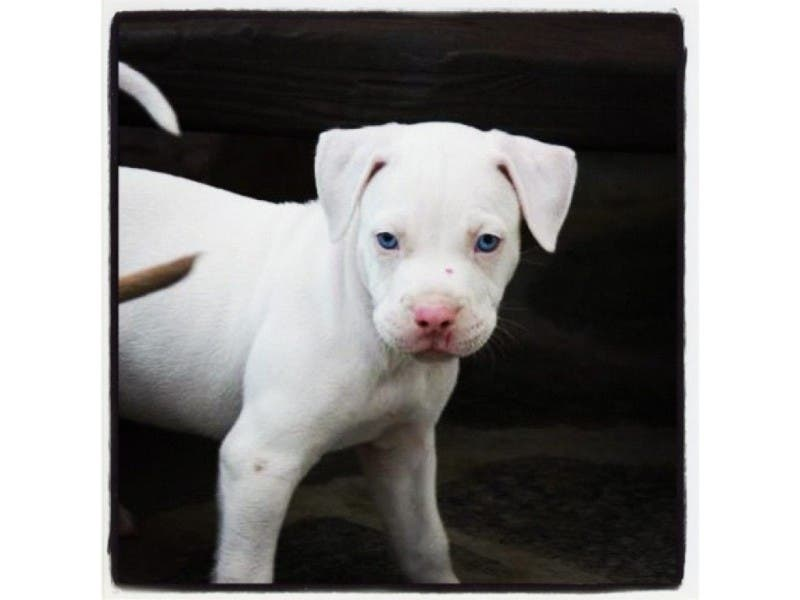 Rescue Pet Willy Pitbull Puppy Westwood Ca Patch