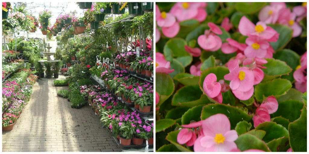 Shade Gardening Alternatives To Impatiens With Annuals And