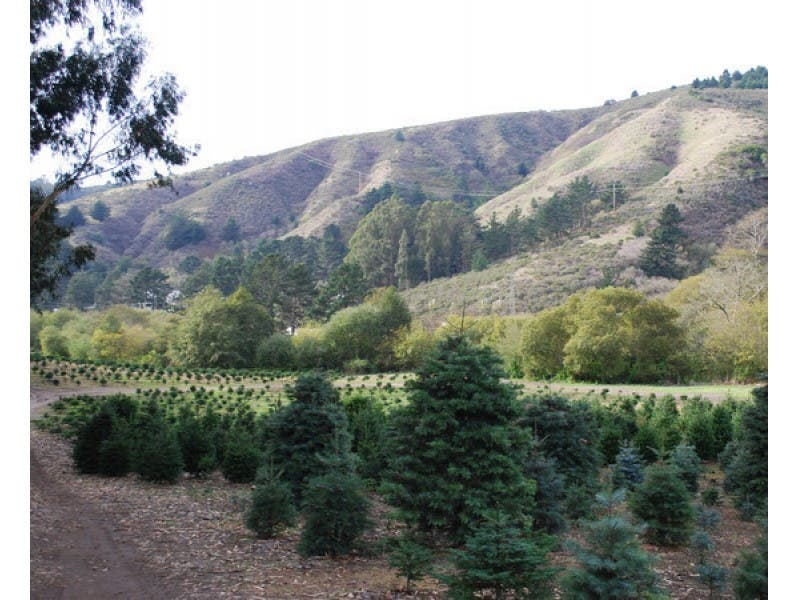 Belmont Patch's Christmas Tree Guide - Belmont Patch's Christmas Tree Guide Belmont, CA Patch