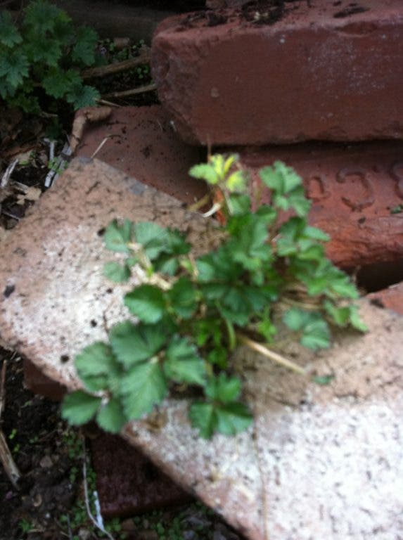 Least Wanted: Weeds | West Orange, NJ Patch